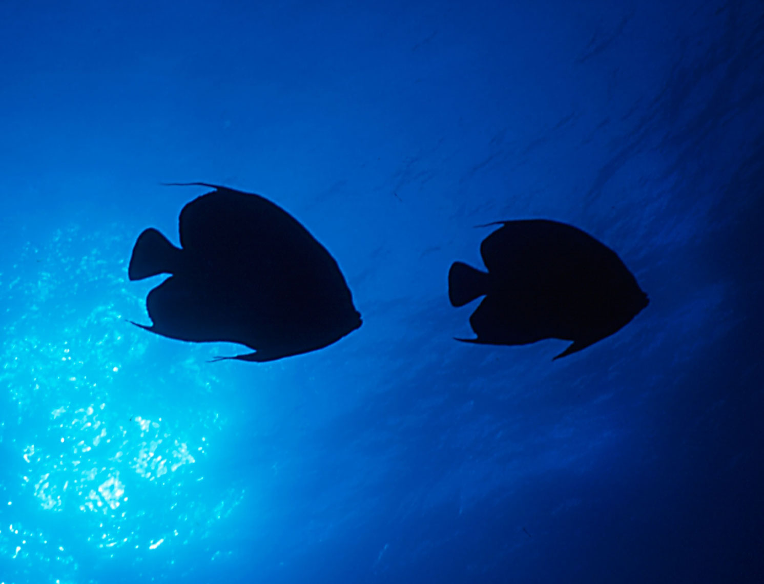 Queen Angelfish/Silo/Austrailia/underwater photography/InsideOut Studios
