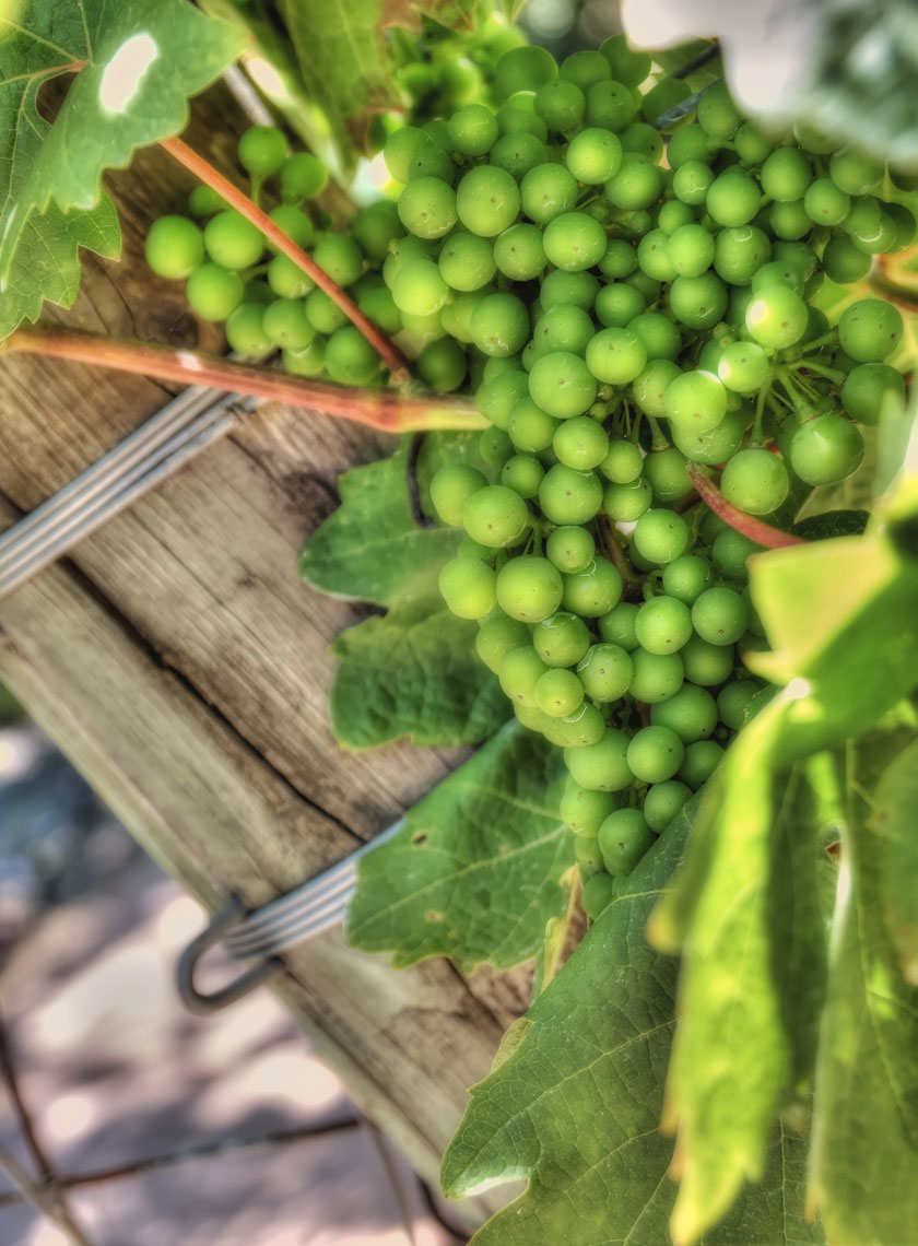 Grapes/Vineyard/Closeup//locaton photography