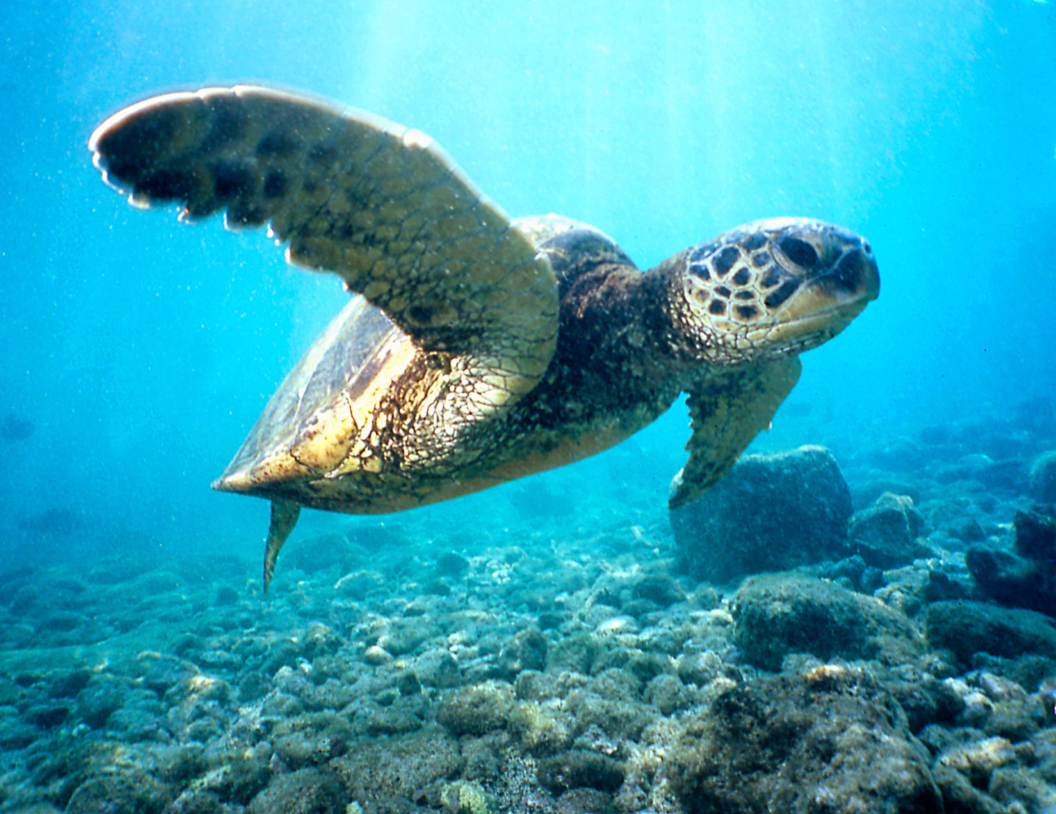Green Sea Turtle/Hawaii//underwater photography